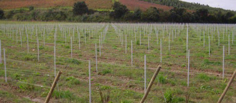 Piura se proyecta como la región con mayor producción de uva de mesa