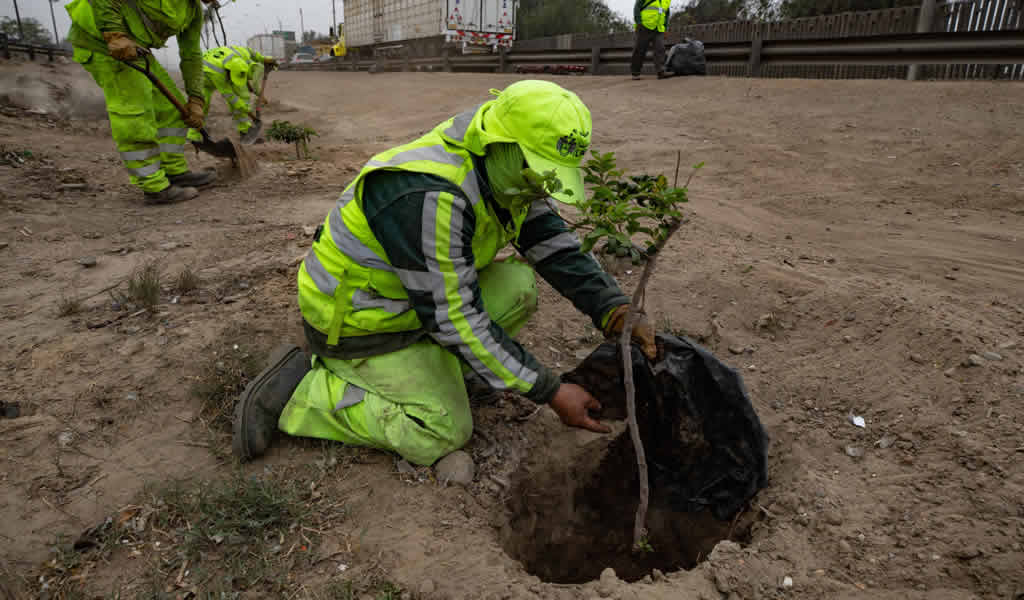 MML sembró 1,700 árboles e implementó 17,000 m² de áreas verdes en primer trimestre del 2021.